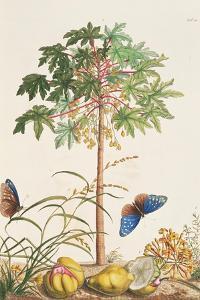 Pawpaw Tree by Georg Dionysius Ehret