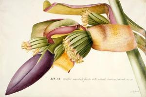 Pd.117-1973F.19 Flower of the Banana Tree by Georg Dionysius Ehret
