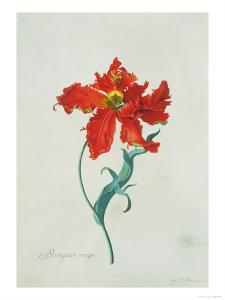 Perroquet Rouge, A Botanical Illustration by Georg Dionysius Ehret