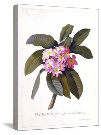 Plumeria, C.1744