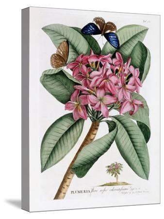 Plumeria, C.1749