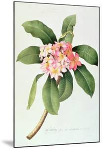 Plumeria by Georg Dionysius Ehret