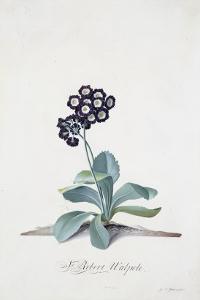 Primula by Georg Dionysius Ehret