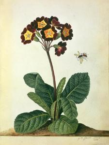 Primulaecae: a Flowering Polyanthus with a Flying Insect, 1764 by Georg Dionysius Ehret