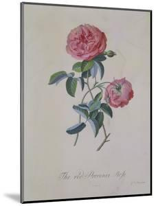 Red Provence Rose, A Botanical Illustration by Georg Dionysius Ehret