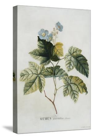 Rubus, 1744