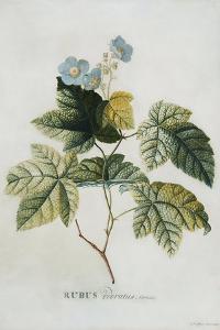 Rubus, 1744 by Georg Dionysius Ehret