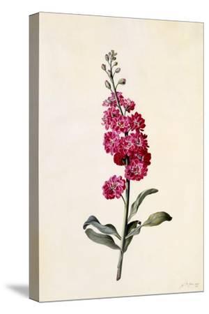 Stock, Matthiola Incana, C.1746