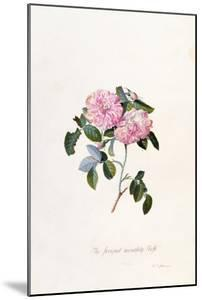 Striped Monthly Rose, A Botanical Illustration by Georg Dionysius Ehret
