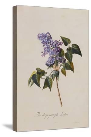 The Deep Purple Lilac, A Botanical Illustration