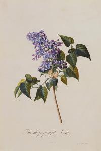 The Deep Purple Lilac, A Botanical Illustration by Georg Dionysius Ehret