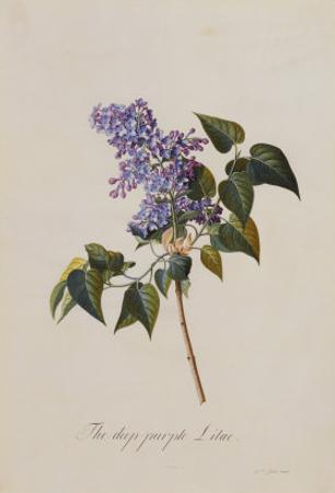 The Deep Purple Lilac, A Botanical Illustration by Georg Dionysius Ehret