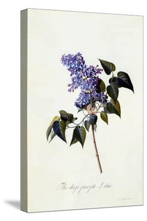 The Deep-Purple Lilac, C.1743