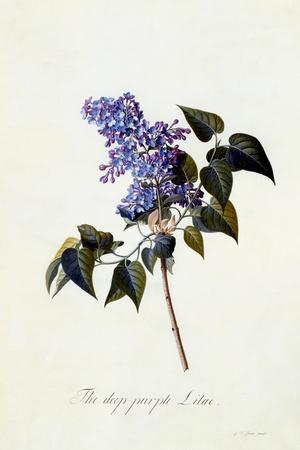 The Deep-Purple Lilac, C.1743