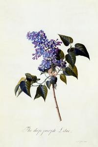The Deep-Purple Lilac, C.1743 by Georg Dionysius Ehret