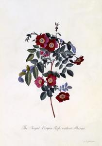 The Royal Virgin Rose Without Thorns, C.1745 by Georg Dionysius Ehret