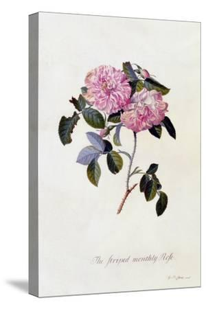 The Striped Monthly Rose, C.1745
