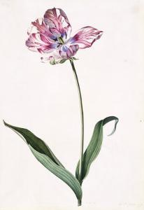 Tulip, A Botanical Illustration, A Botanical Illustration by Georg Dionysius Ehret