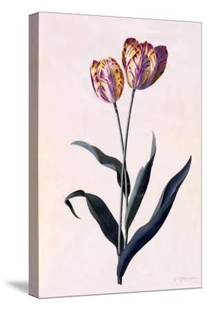 Tulip, C.1744