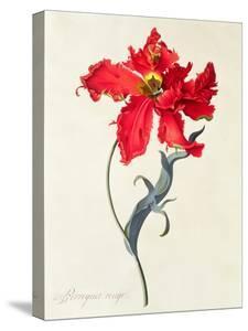 Tulip: Perroquet Rouge by Georg Dionysius Ehret