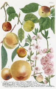 Various Apples by Georg Dionysius Ehret