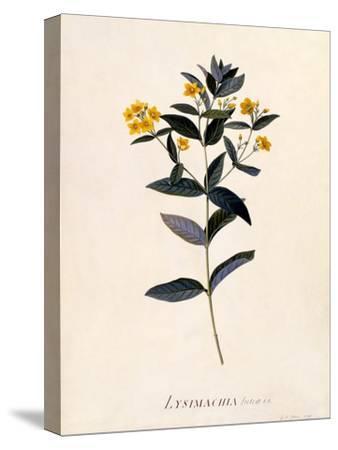 Yellow Loosestrife, C.1760