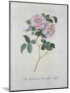 York and Lancaster Rose by Georg Dionysius Ehret