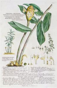 Zingiber latifolium and Amomum, 1754 by Georg Dionysius Ehret