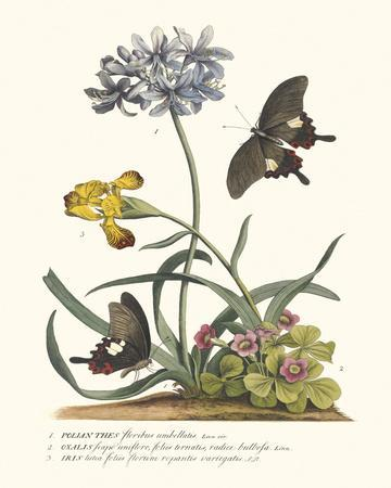 Polianthius, Oxalis and Iris