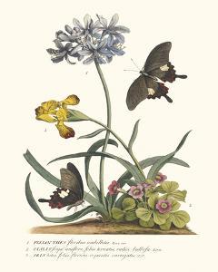 Polianthius, Oxalis and Iris by Georg Ehret
