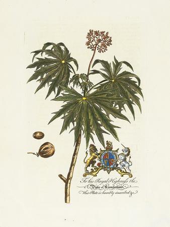 The Duke Of Cumberland Botanical