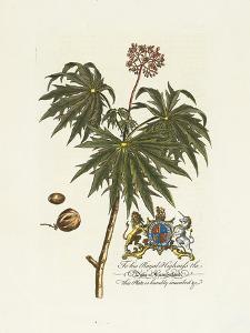 The Duke Of Cumberland Botanical by Georg Ehret