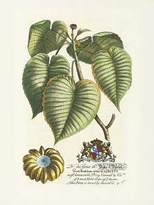 The Duke Of Dorset Botanical by Georg Ehret