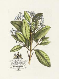 The Earl Of Halifax Botanical by Georg Ehret