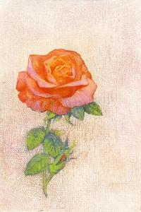 Pale Rose, 1980s by George Adamson