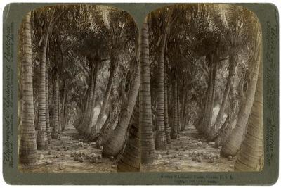 Avenue of Coconut Palms, Florida, USA, 1891