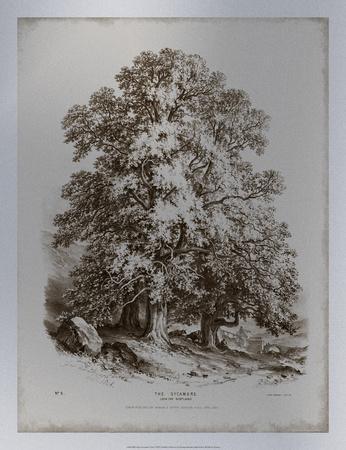 Sepia Sycamore Tree