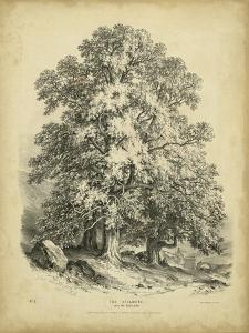 The Sycamore by George Barnard