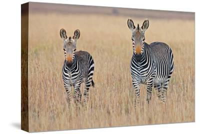 Plains Zebra (Equus Quagga) with Foal in Grasslands, Mountain Zebra National Park, Eastern Cape Pro