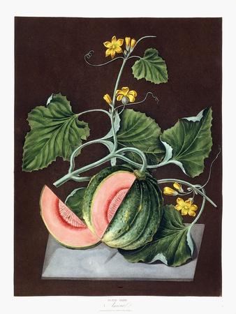 Pumpkin, 1812