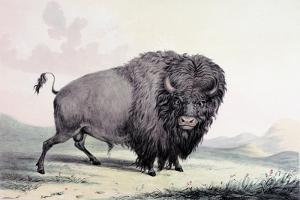 A Buffalo Bull Grazing by George Catlin