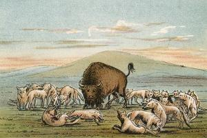 Buffalo and Coyotes by George Catlin