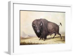 Bull Buffalo by George Catlin