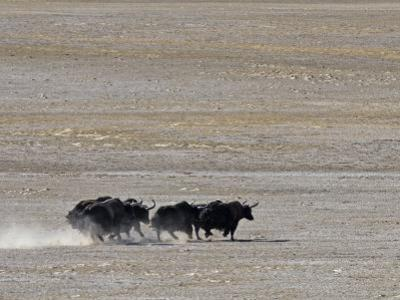 Herd of Wild Yaks Running across the Chang Tang Nature Reserve of Central Tibet., December 2006