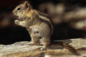 Golden-Mantled Ground Squirrel (Spermophilus Lateralis) on a Log by George D Lepp