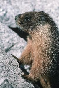 Yellow-Bellied Marmot by George D Lepp