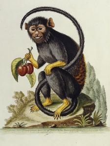 A Little Black Monkey Brought from the West Indies by Commodore Fitzroy Lee by George Edwards
