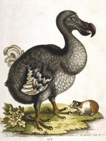 Dodo and Guinea Pig, 1750 by George Edwards