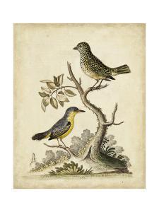 Edwards Bird Pairs VII by George Edwards
