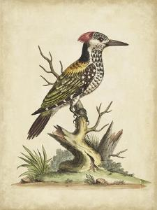 Edwards Woodpecker by George Edwards